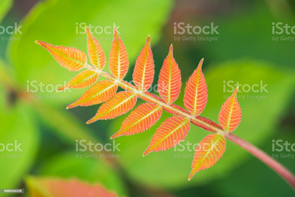 Red leaves with green background royalty-free stock photo