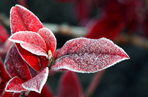 red leaves with ice - february stock photos and pictures