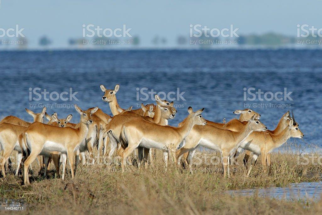 Red lechwe antelopes stock photo