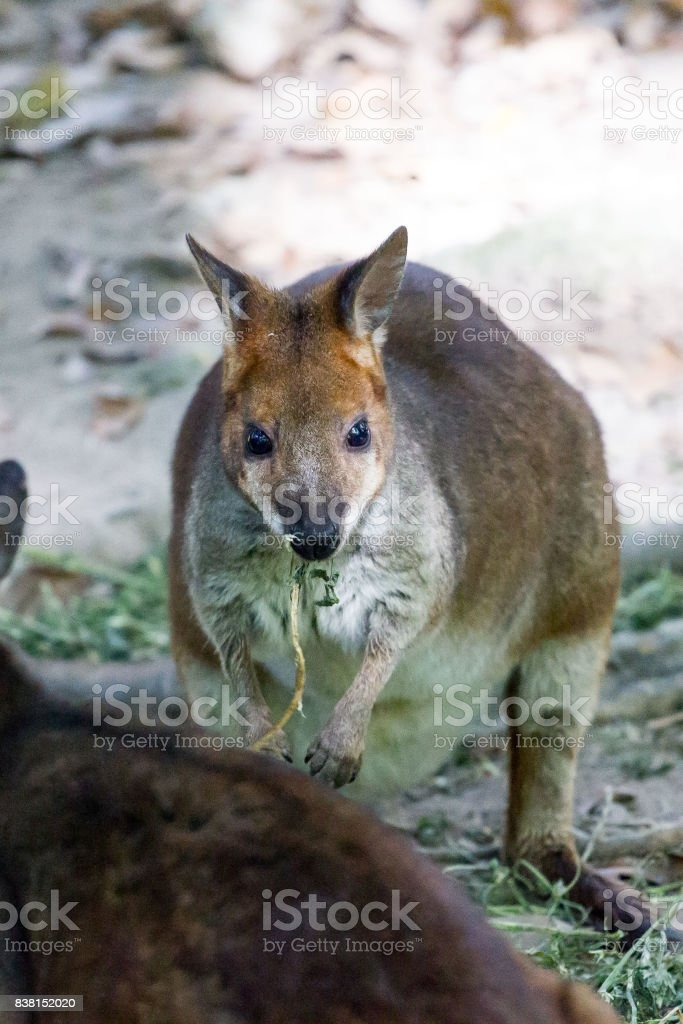 Red- legged Pademelon stock photo