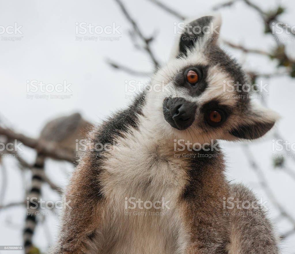 Red lemur  in natural habitat stock photo