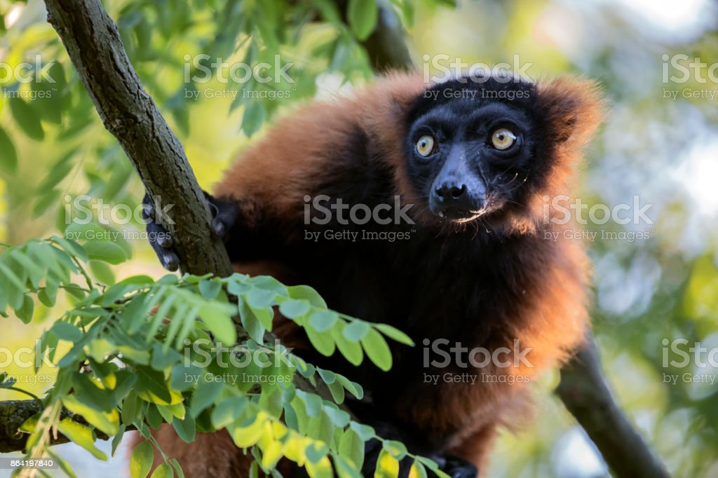 Red lemur royalty-free stock photo