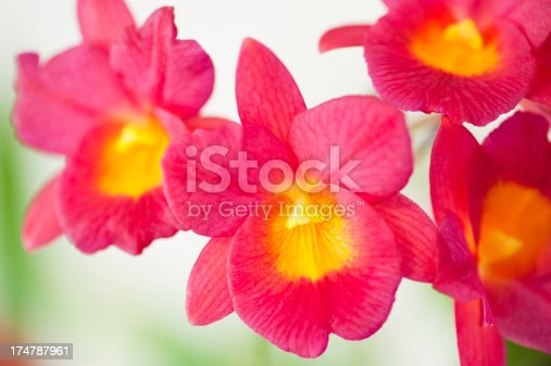 Macro capture of a blooming red and yellow cattleya orchid plant with the focus on the centre flower.