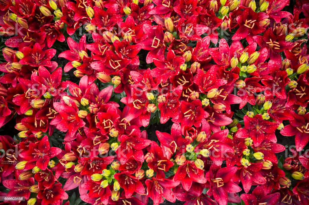 Red lilies background stock photo