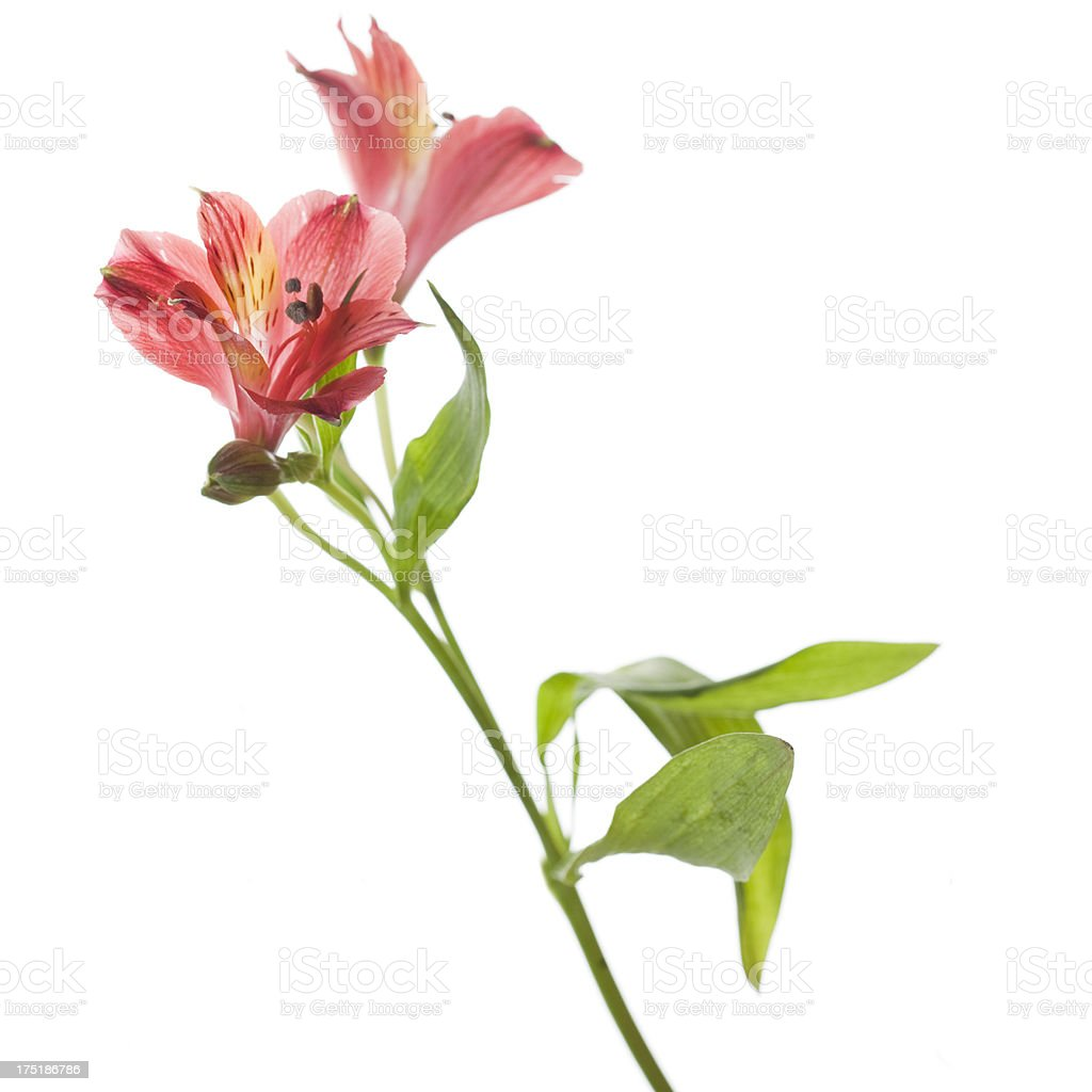 Red Lilies royalty-free stock photo