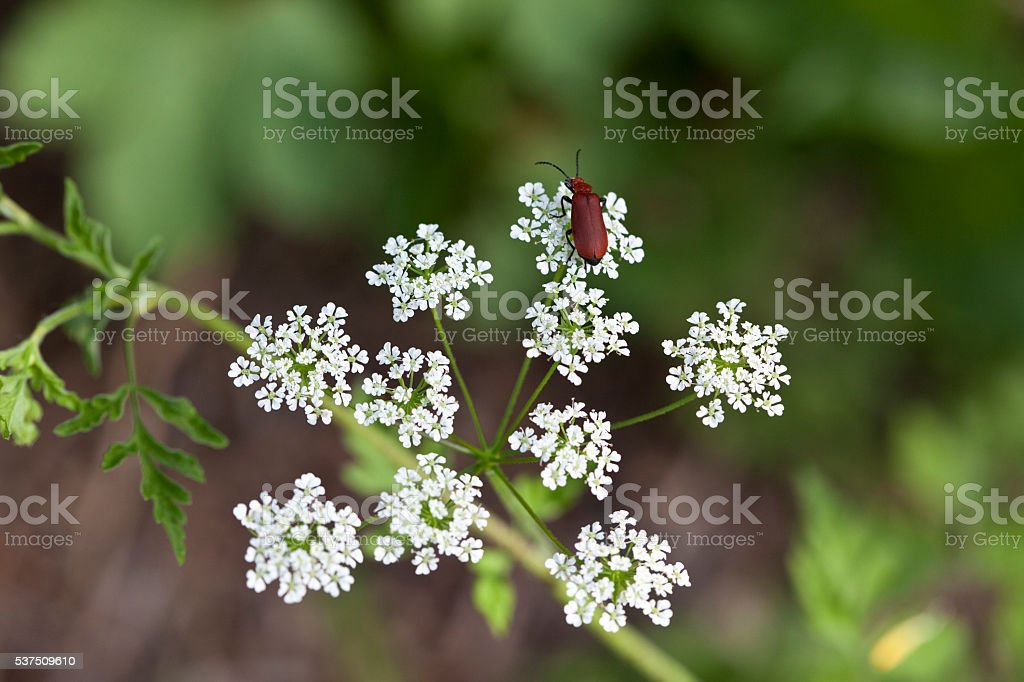 Red Lily Beetle in Daucus Carota stock photo