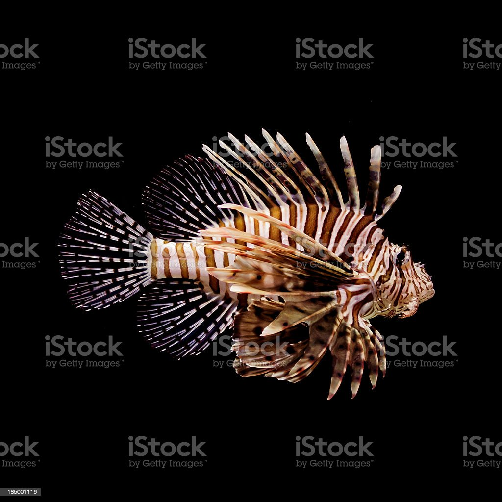 Red Lion Fish stock photo