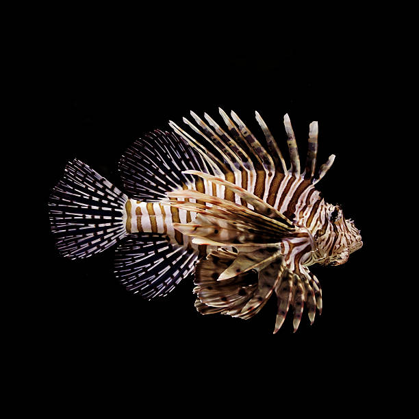 red lion fish - lionfish stock photos and pictures