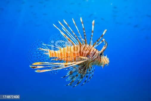 Red lionfish (Pterois miles) is common in the Red Sea and the Indian Ocean.