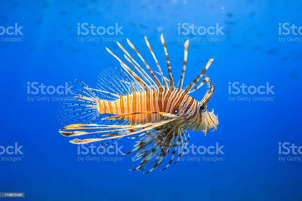 Red Lionfish ( Pterois miles ) stock photo