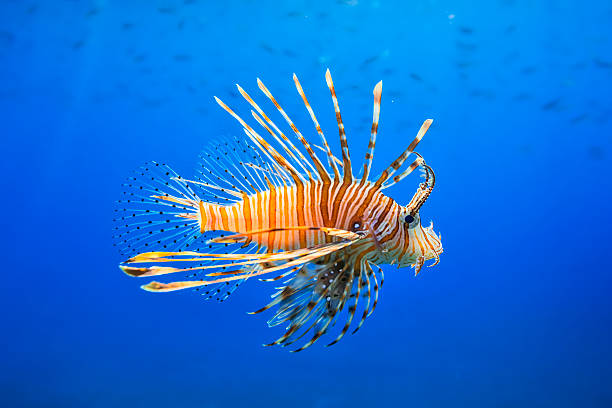red lionfish ( pterois miles ) - lionfish stock photos and pictures