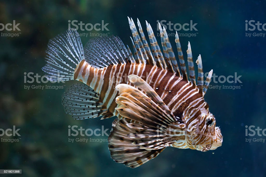 Red lionfish (Pterois volitans). stock photo