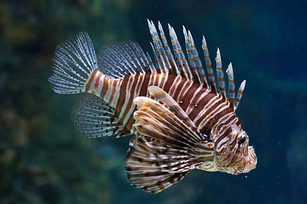 red lionfish (pterois volitans). - lionfish stock photos and pictures