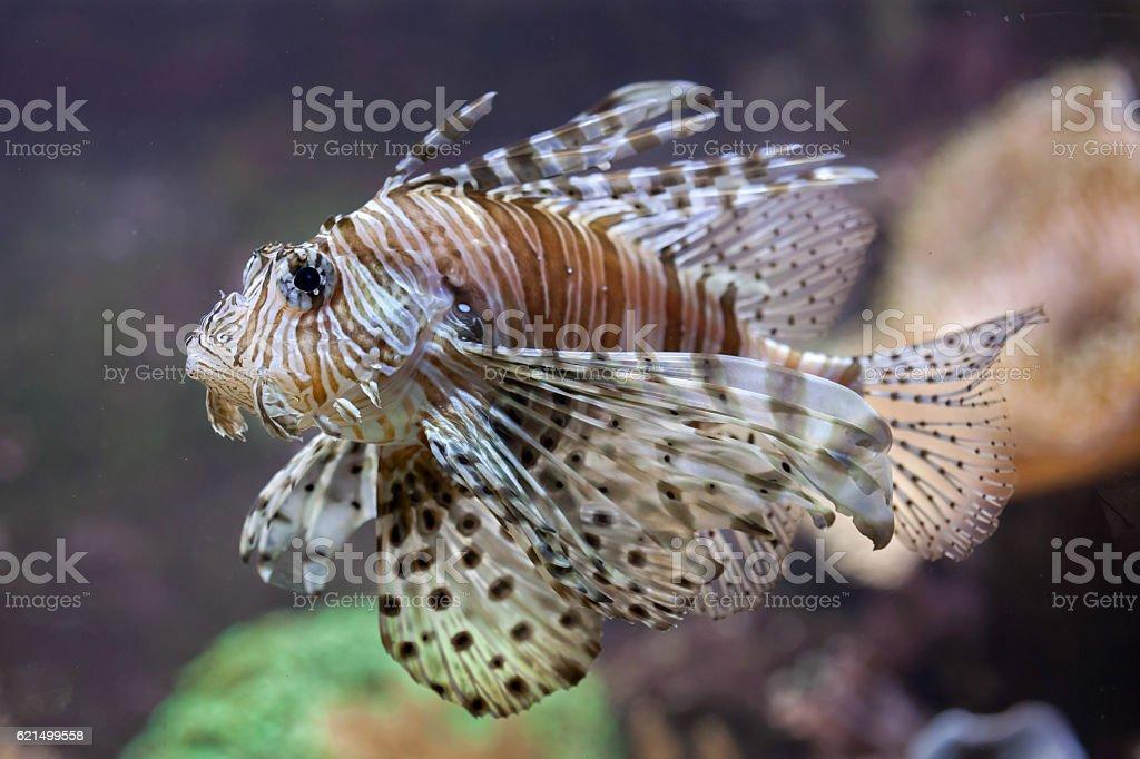 Red-Zwergfeuerfisch (Pterois Lady). Lizenzfreies stock-foto