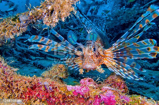 Red Lionfish, Pterois volitans, South MaleAtoll, Maldives, Indian Ocean, Asia