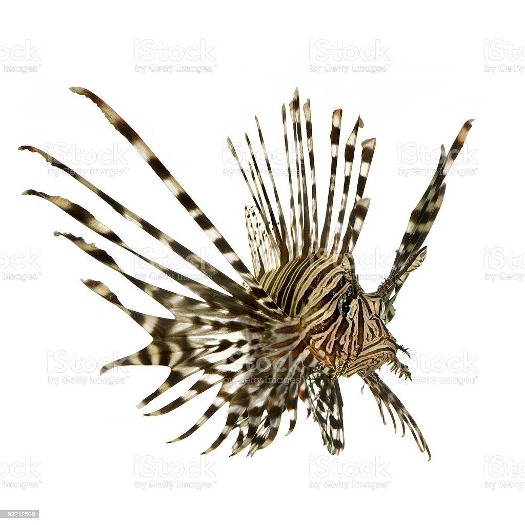 Red lionfish - Pterois volitans stock photo