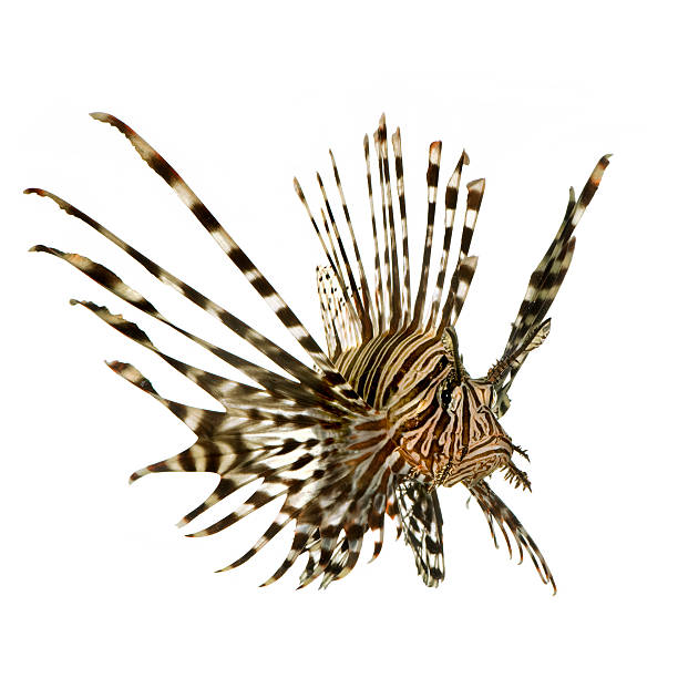 red lionfish - pterois volitans - lionfish stock photos and pictures