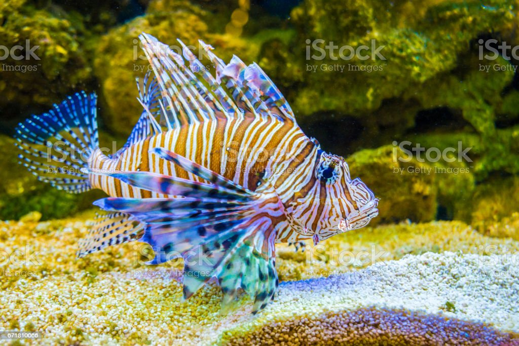 Red lionfish Pterois volitans . Wild life animal. stock photo