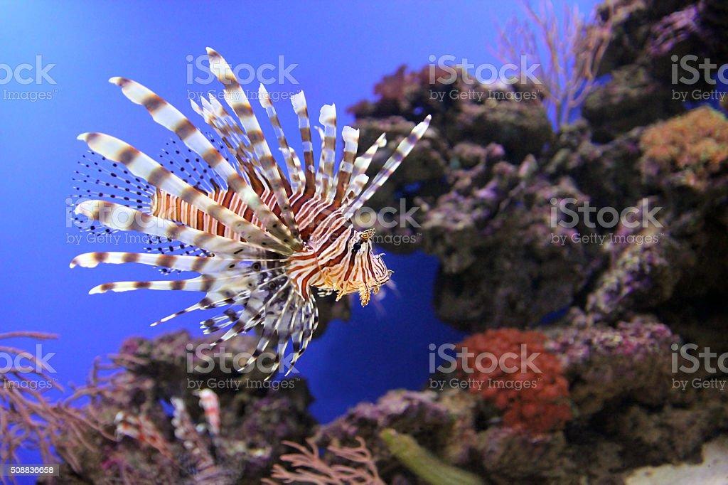 Red lionfish underwater stock photo
