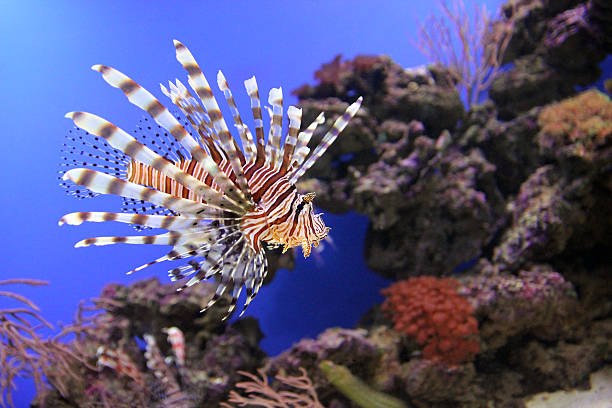 red lionfish underwater - lionfish stock photos and pictures