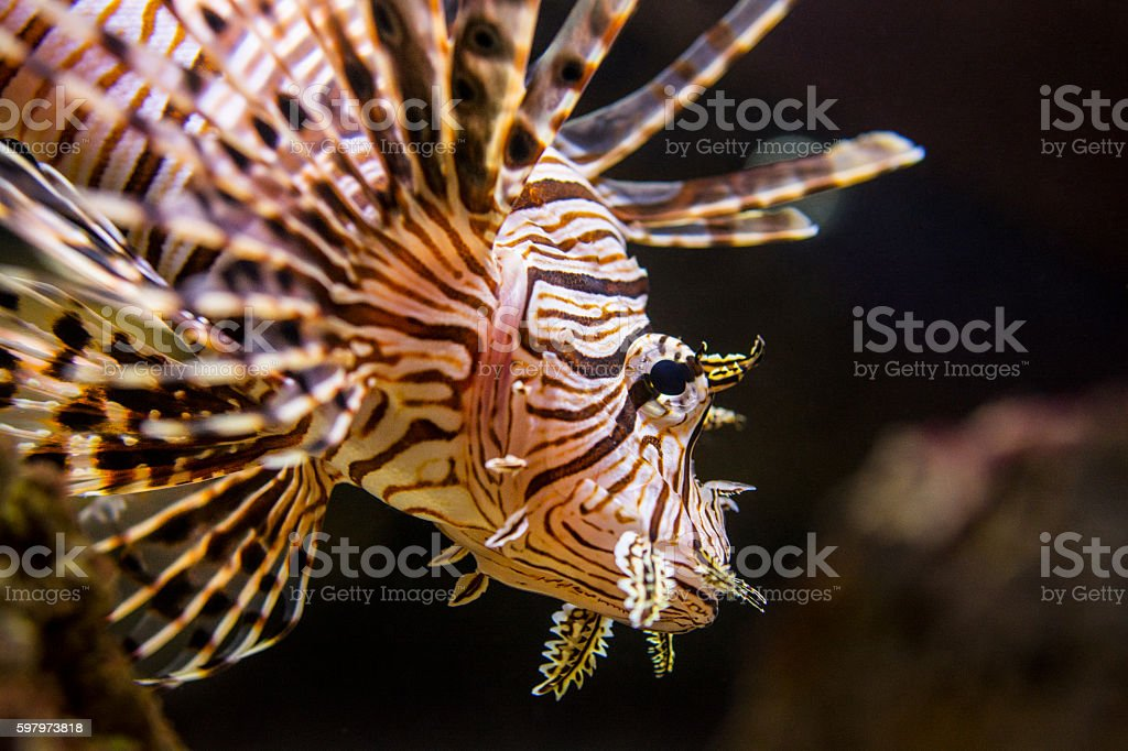 Red lionfish - venomous coral reef fish stock photo