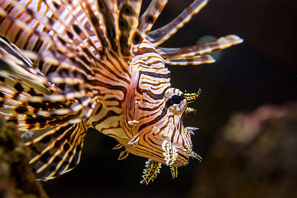 red lionfish - venomous coral reef fish - lionfish stock photos and pictures
