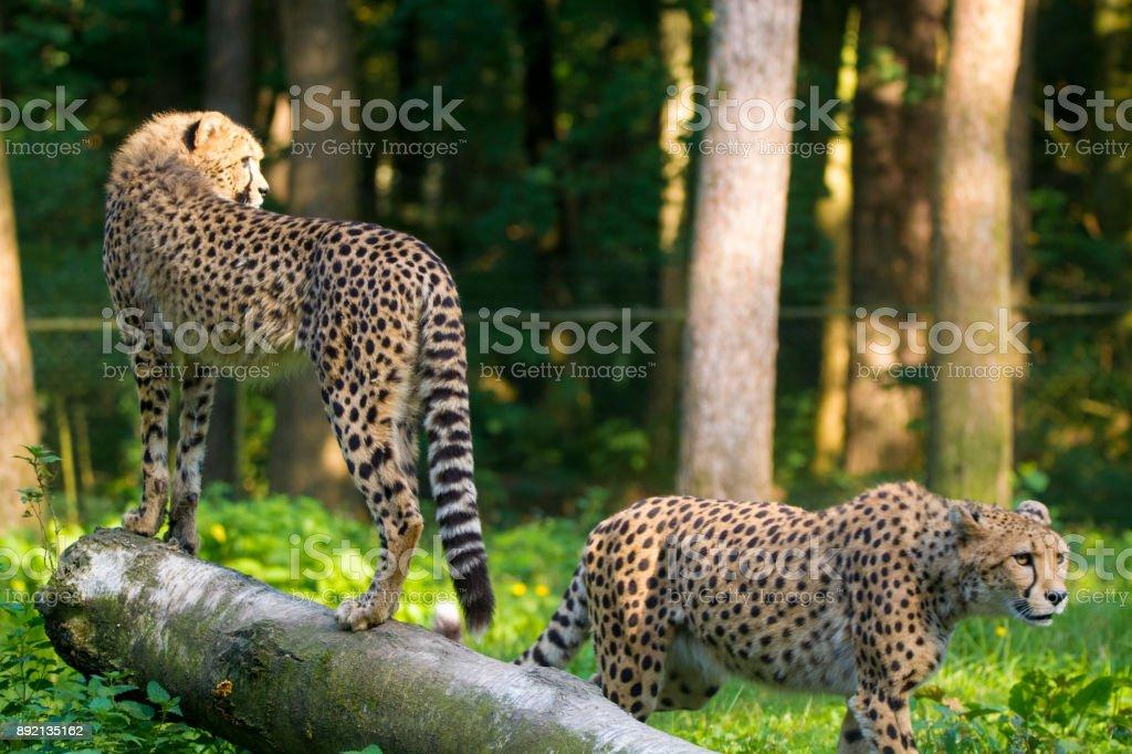 Red list animal - cheetah or cheeta, fastest land animal, large felid of the subfamily Felinae. stock photo