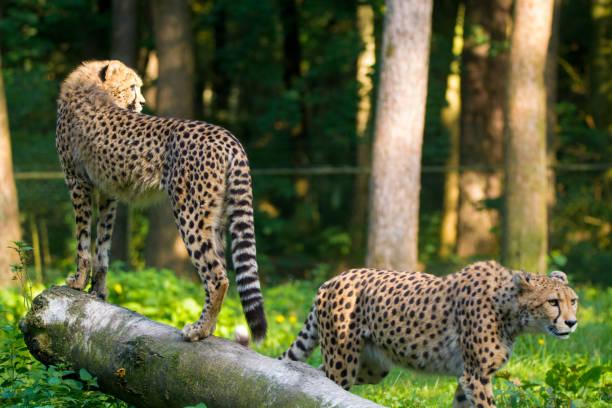 Animal - liste rouge, guépard ou cheeta, animal terrestre le plus rapide, grande petite de la sous-famille des Felinae. - Photo