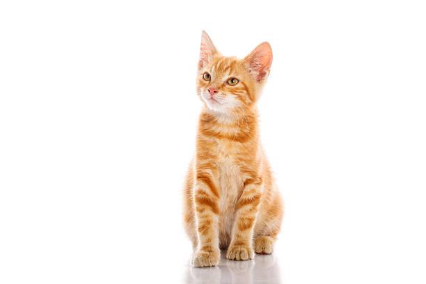 Red little cat picture id482454211?b=1&k=6&m=482454211&s=612x612&w=0&h=yshnhodktcvlpo6dgrnzv 75oisinwnjey xjtfyuxi=