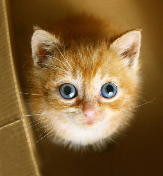 Red little one month kitten with blue big eyes look up from cardboard picture id855386292?b=1&k=6&m=855386292&s=612x612&w=0&h= 69xjsklnvz5vhszlbivknt9wjhhrbxqyjxnyva2zfw=