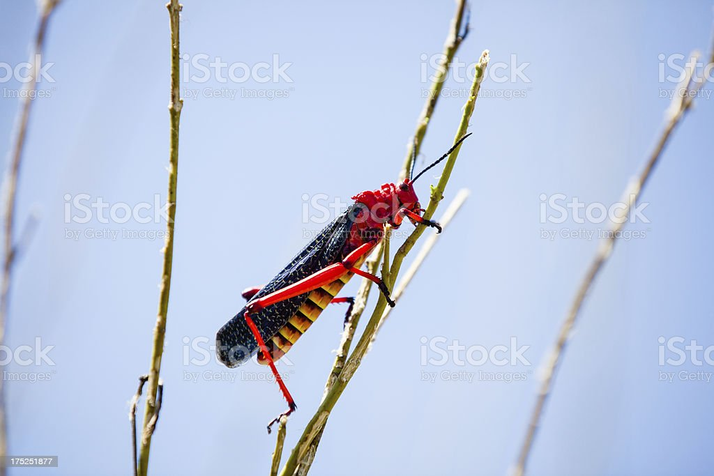 red locust on a stalk royalty-free stock photo