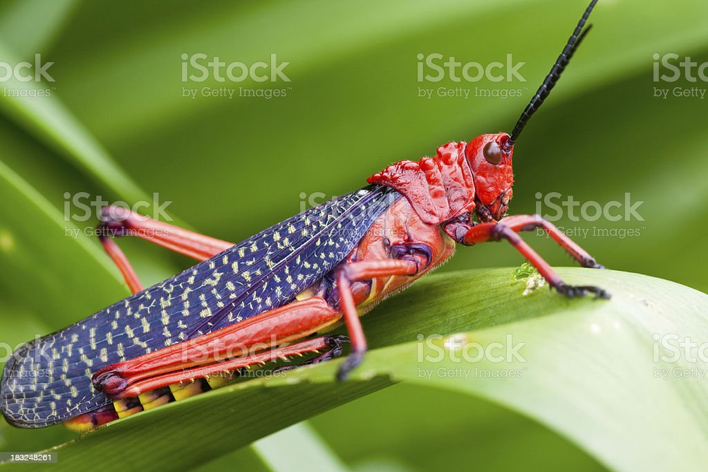 Red locust on green leaves royalty-free stock photo