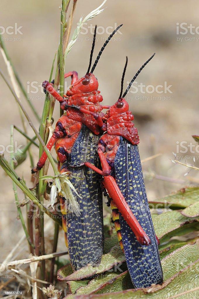 Red Locusts Pairing royalty-free stock photo