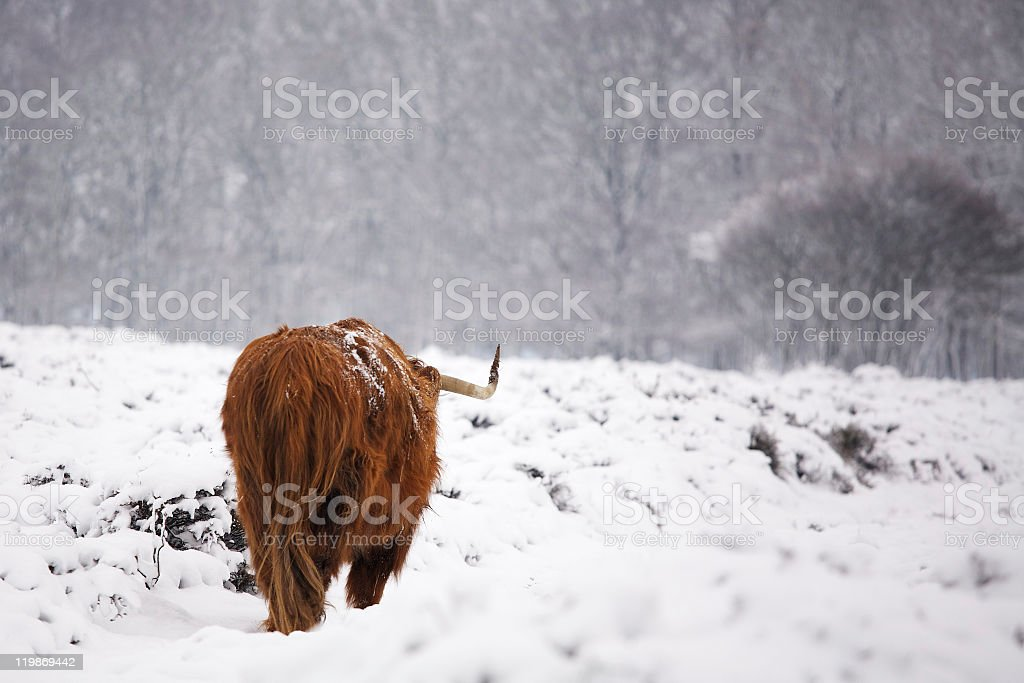 Red long haired cow trudging away in the snow royalty-free stock photo