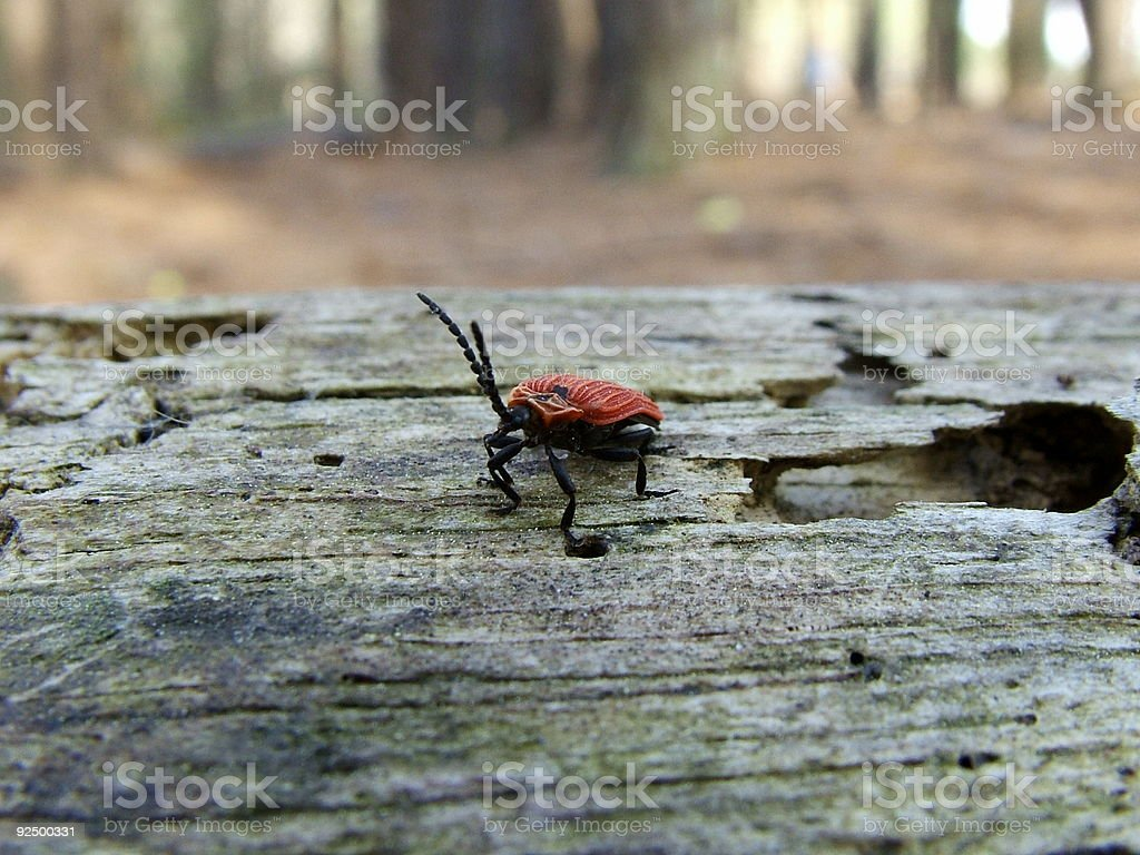 Red long horned beetle royalty-free stock photo