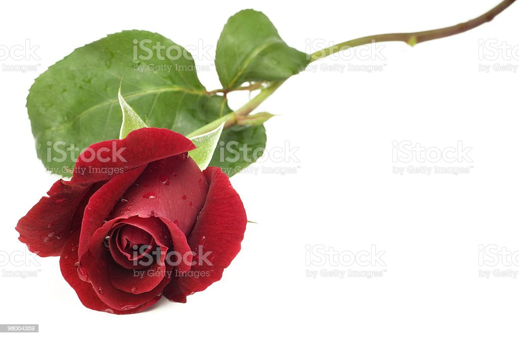 Red Long Stem Rose royalty-free stock photo