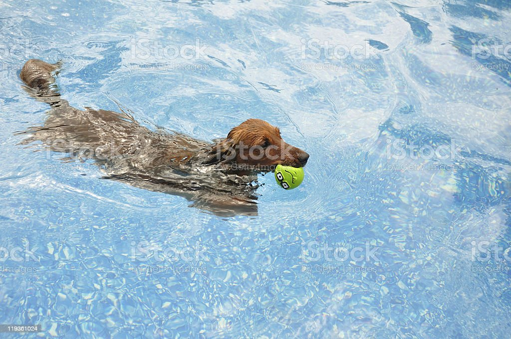 Red Long-Haired Dachshund Swimming stock photo
