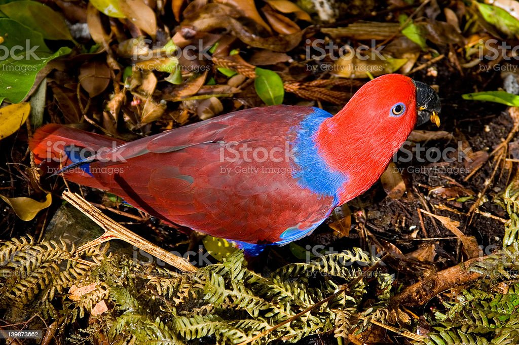 Red Lory Parrot royalty-free stock photo