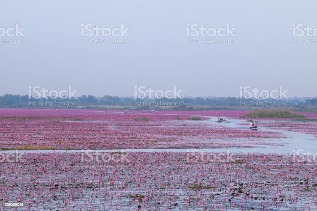 Red lotus in the morning at Udon Thani, amazing Thailand. stock photo