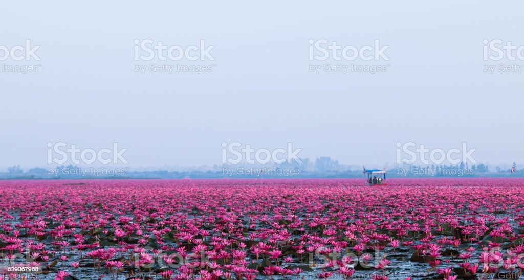 Red lotus in the morning. stock photo