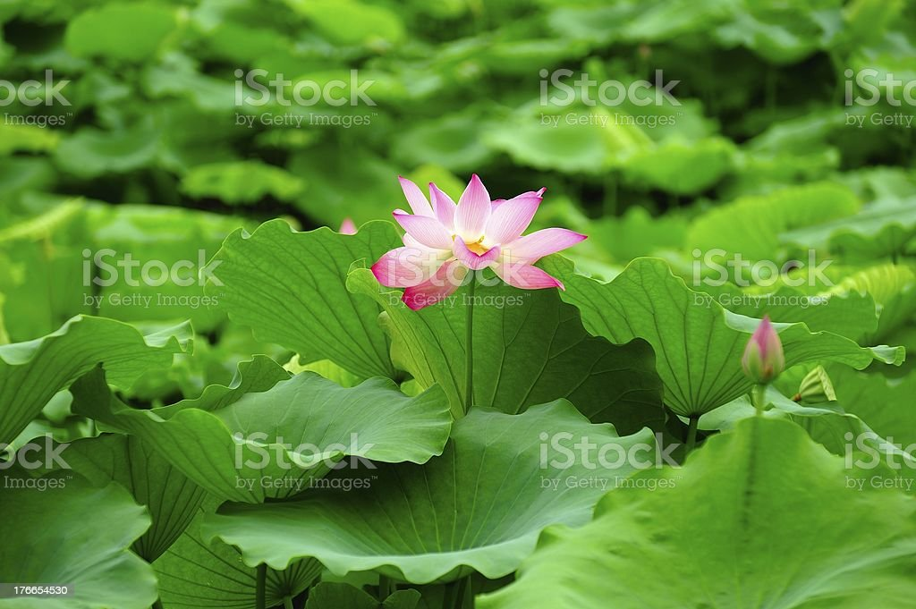 Red lotus royalty-free stock photo
