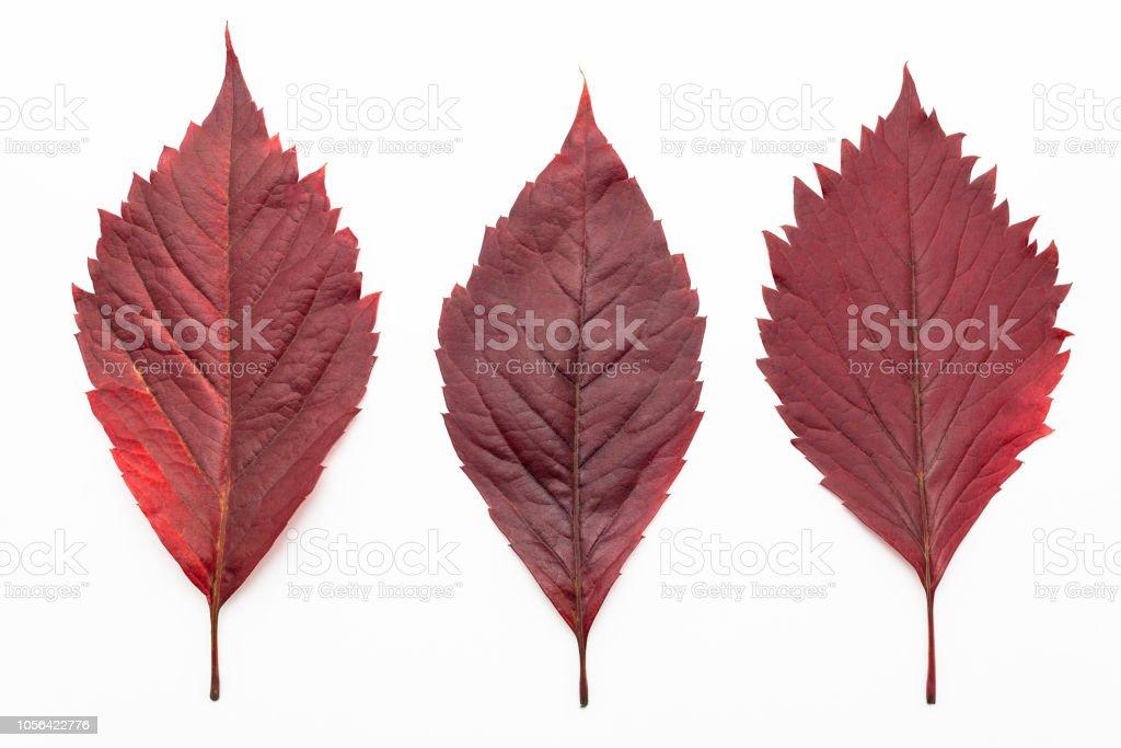 Rot, Blätter isoliert auf einem weißen Hintergrund mit einem Beschneidungspfad liegen. Farben des Herbstes. – Foto