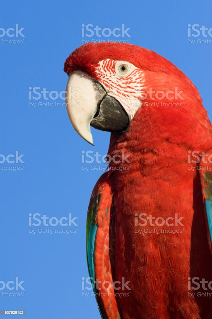 Red Macaw head close-up isolated over blue sky stock photo