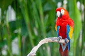 Red macaw on branch