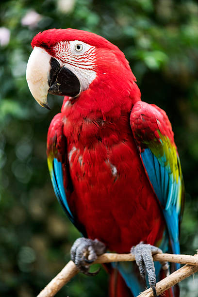 red macaw parrot - green winged macaw stock photos and pictures