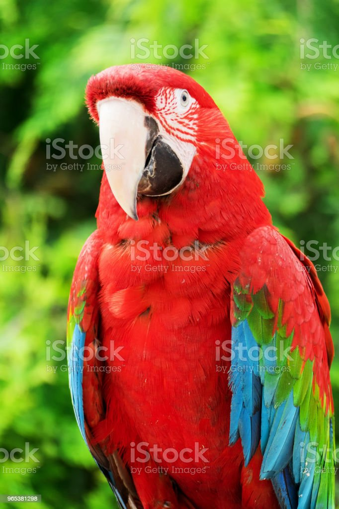 Red Macaw Parrot royalty-free stock photo