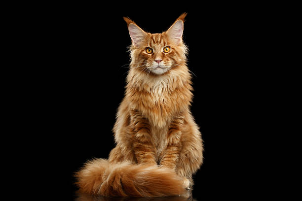 Red maine coon cat sitting with furry tail isolated black picture id541302346?b=1&k=6&m=541302346&s=612x612&w=0&h=r2idmphh7xes6uq9mxb7cj979zmp31niorbokfyrpw8=