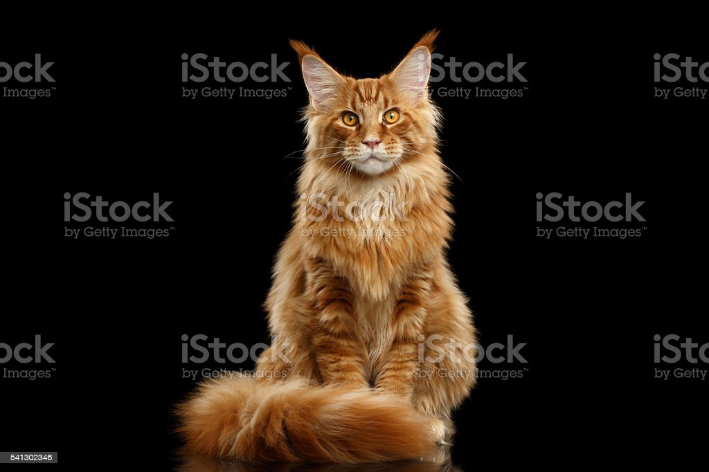 Red Maine Coon Cat Sitting with Furry Tail Isolated Black stock photo