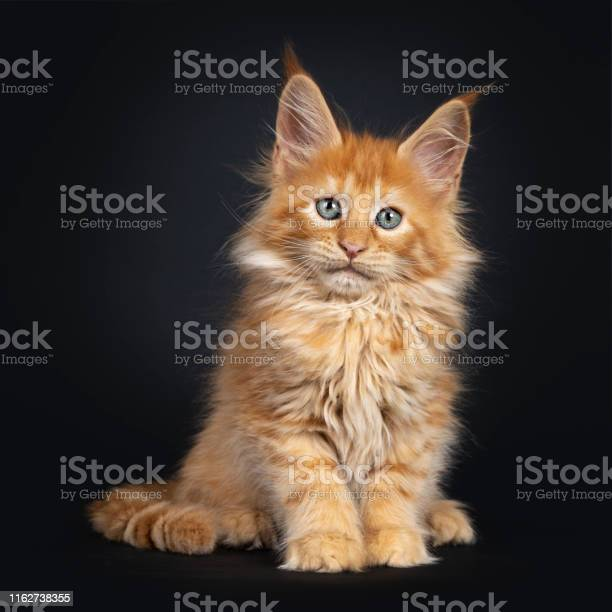 Red maine coon kitten on black picture id1162738355?b=1&k=6&m=1162738355&s=612x612&h=sqcl92tbwk81tj2xkp7ik cadwjfoebtyqdpdawofts=