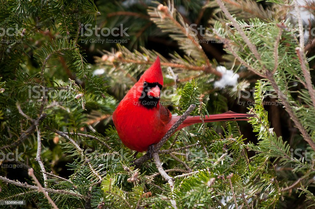 Red male cardinal sits on green pine branch stock photo